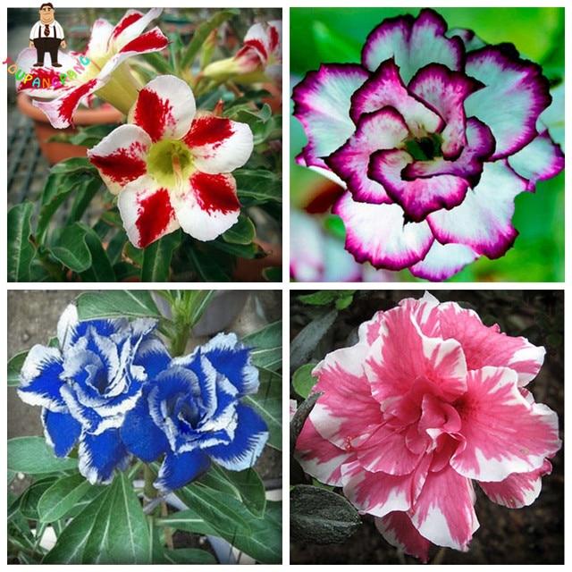 2 Stücke Regenbogen Wüste Rose Pflanzen Bonsai Thailand Adenium Obesum Pflanzen  Balkon Blumen Pflanzen Gemischt Heißer