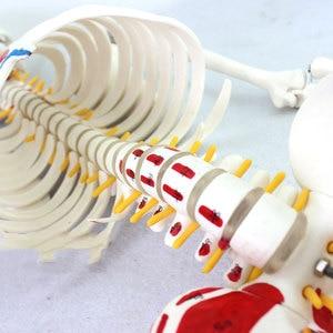 Image 4 - Autentyczny Deluxe 85CM Model ludzkiego manekina z rdzeniem kręgowym Model medycznego szkieletu nauczania medycznego