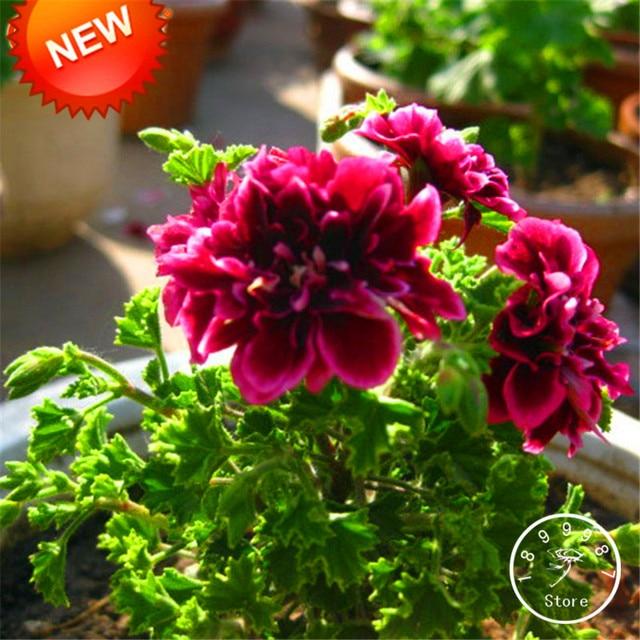 Big Sale20 Pcspack Crimson Flower Petals Geranium Bonsai