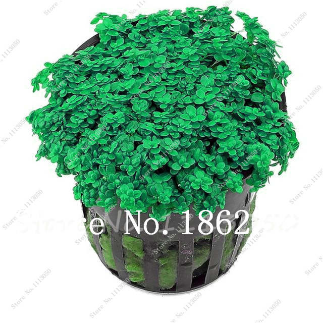 Hot Pellia For Live Fish Moss Fern Aquarium Plant Java Fish Tank Aquatic  Grass Landscape Decoration Ornament 500 Pcs/bag