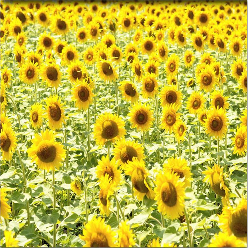 Yellow Sunflower Aesthetic Drawing Www Picturesboss Com