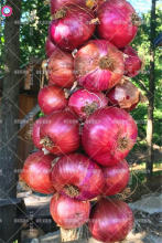 100pcs Mixed Giant Onion Seeds Organic Bonsai Vegetable Seeds Edible Plants for Home Farm Easy to Grow Professional packaging