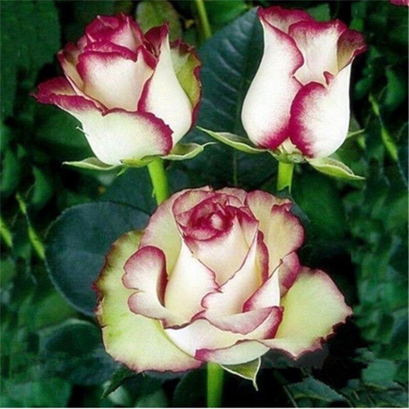 Swept Away Rose  Flowers The Same Color As Fire & Ice,Beautiful DIY Home Garden Bonsai  Flower 100pcs