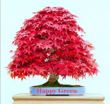 Potted plants red Maple Seeds Rare in The World Canada is a Beautiful red Maple Bonsai Plants Trees 30 PCS f52(China)
