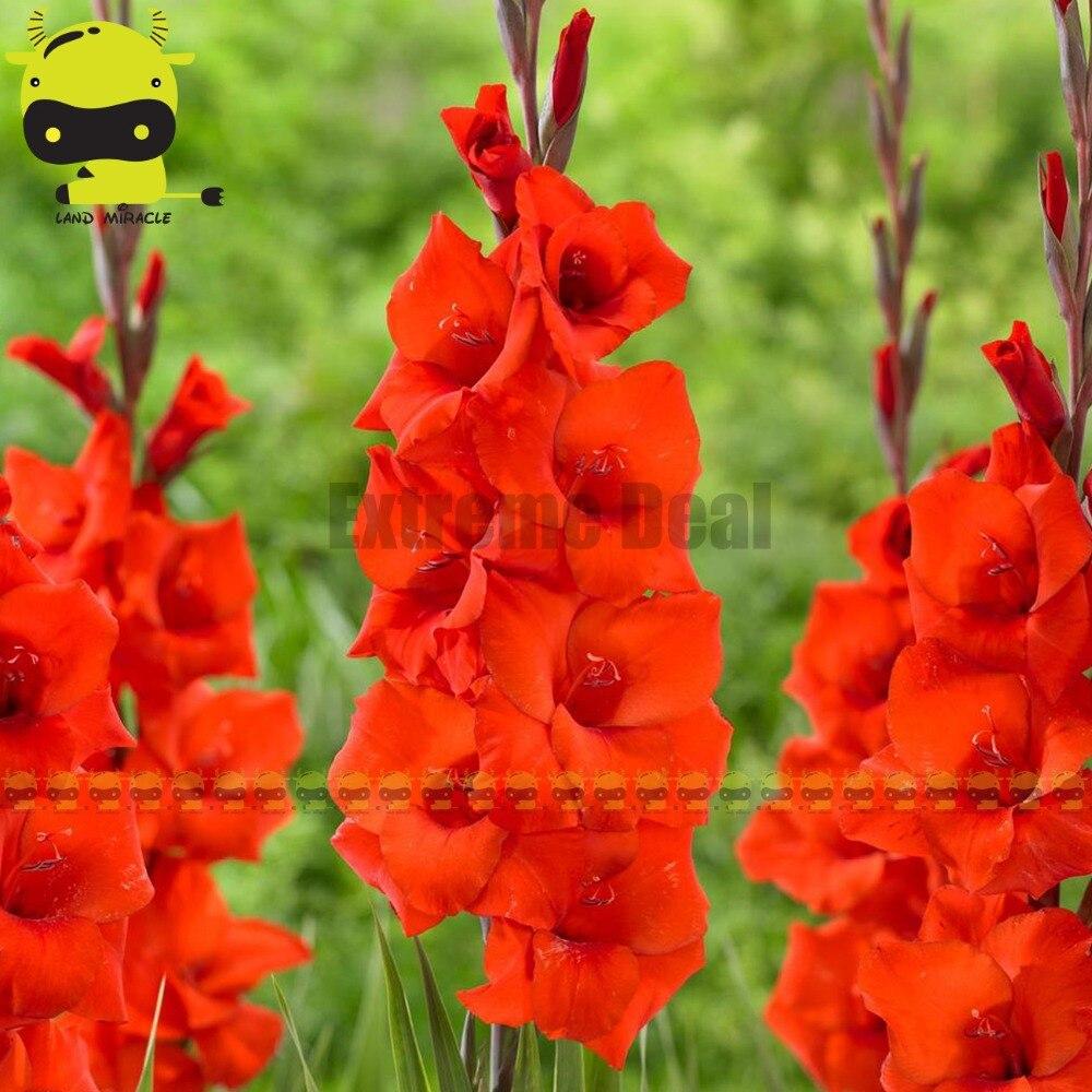 Gladiolus Magma Full Bloom Bright Orange Sword Lily Seeds 20