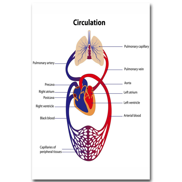 Nicoleshenting Human Blood Circulation System Art Silk Poster 13x20