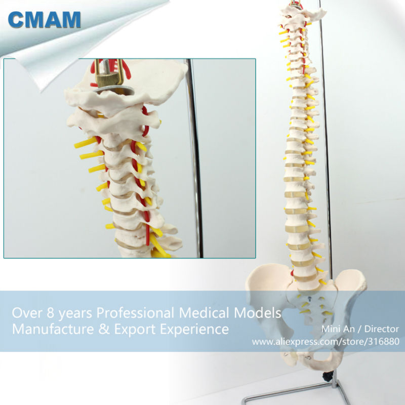 12382 CMAM-SPINE10 Quality Medical Science Anatomical Model ,Life-Size Vertebral Column with Pelvis life size vertebral column spine with pelvis model bix a1009 w051 page 7