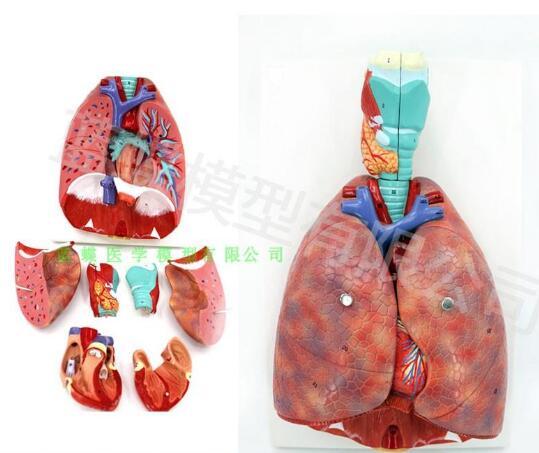 Human laryngeal cardiopulmonary anatomy model respiratory system model ear, nose and throat department of cardiopulmonary anatom electric human respiratory system model bix a1077 wbw315