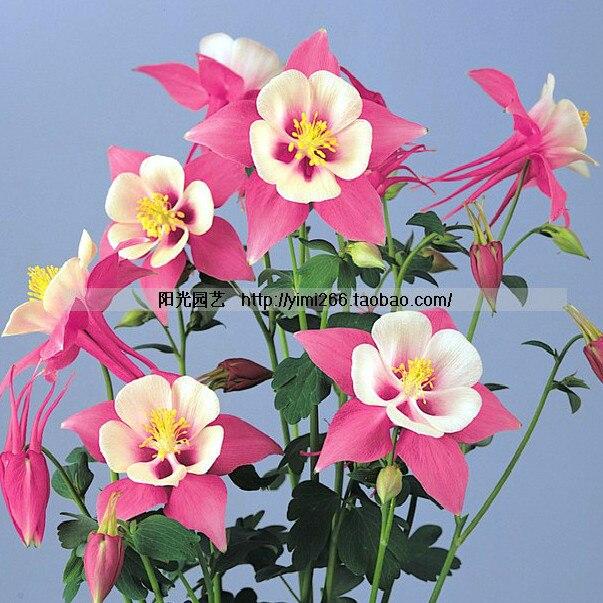 free ship sementes zi yan aquilegia hardy perene flor sementes sombra vasos de flores plantadores