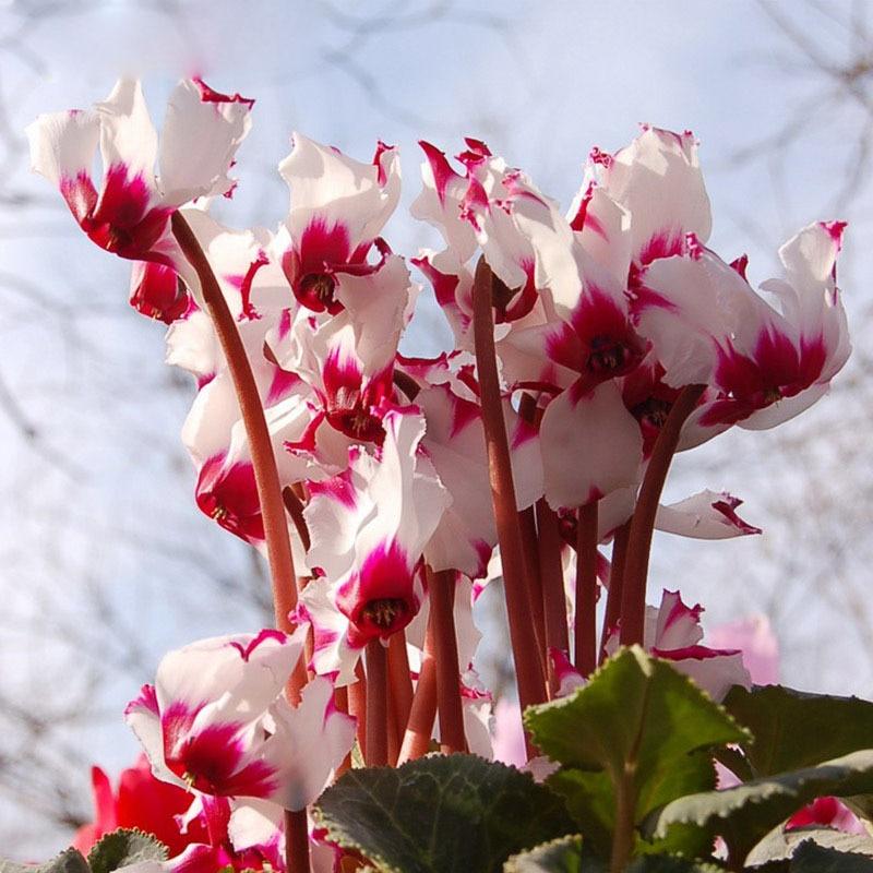 100pcs Seeds White Red Edge Cyclamen Flower Perennial