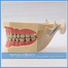 ED-DH107-1 SF Type Similar Frasaco Black Teeth Study Model, Medical Science Educational Dental Teaching Models