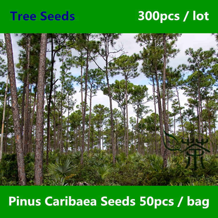 ^^Ornamental Plant Caribbean Pine ^^^^ 300pcs, Family Pinaceae Pinus Caribaea ^^^^, Evergreen Landscape Tree Bahamas Pine ^^^^