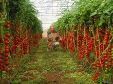 Лидер продаж Cherry томатные растения ограниченное по времени регулярные Роман комнатные растения бонсай овощи для дома и сада шт./упак. 200