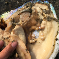 Wholesale 100% cultured freshwater pearl oyster, big oyster 3 5 year 17 23cm lots of natural pearls inside, vacuum packaging