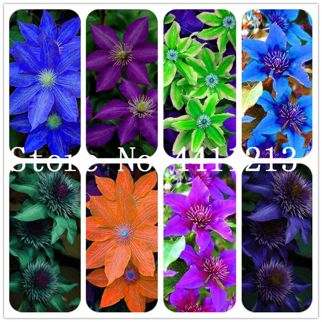 100 Pcs Mixed Color Clematis Bonsai Clematis Hybridas Hanging Bonsai