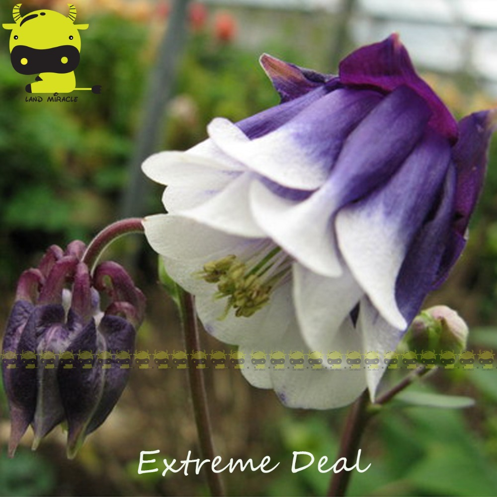 100 true winky double variety columbine flower seeds 50 seedspack 100 true winky double variety columbine flower seeds 50 seedspack dark blue long blooming aquilegia herbs in bonsai from home garden on aliexpress izmirmasajfo