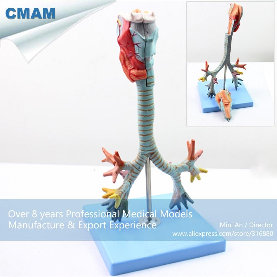 12502 CMAM LUNG05 Larynx,Trachea and Bronchial Tree Human Medical ...