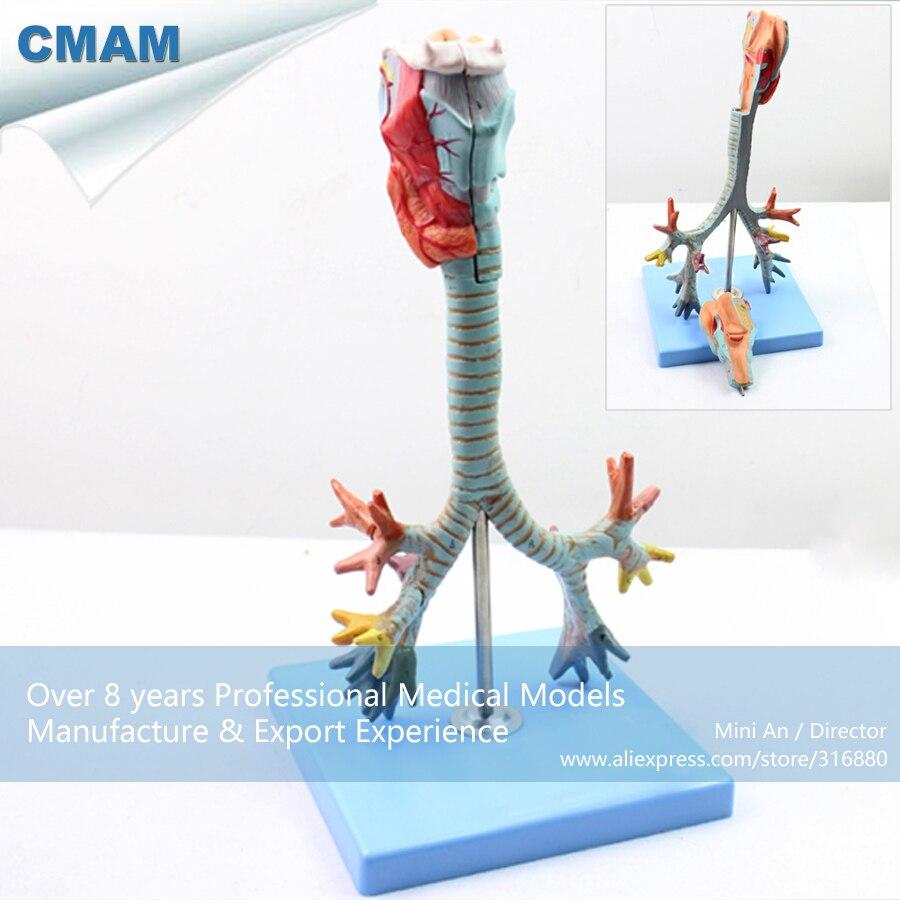 12502 / Larynx,Trachea and Bronchial Tree Human Medical Model,Medical Science Educational Teaching Anatomical Models12502 / Larynx,Trachea and Bronchial Tree Human Medical Model,Medical Science Educational Teaching Anatomical Models