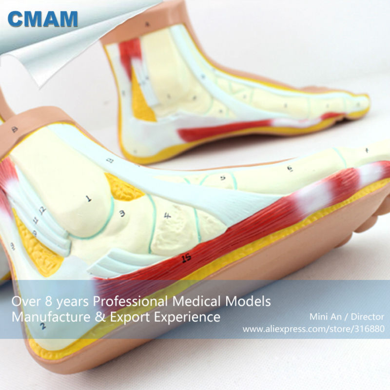 CMAM-MUSCLE10 Medical Anatomy Human Foot Normal, Flat, Arched Foot Model normal foot flat feet bow foot foot combined anatomical model