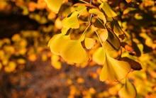 New Home Garden Plant 10 Seeds Ginkgo seeds biloba, Maidenhair Tree, Seeds (Fall Colors) Seeds Free Shipping