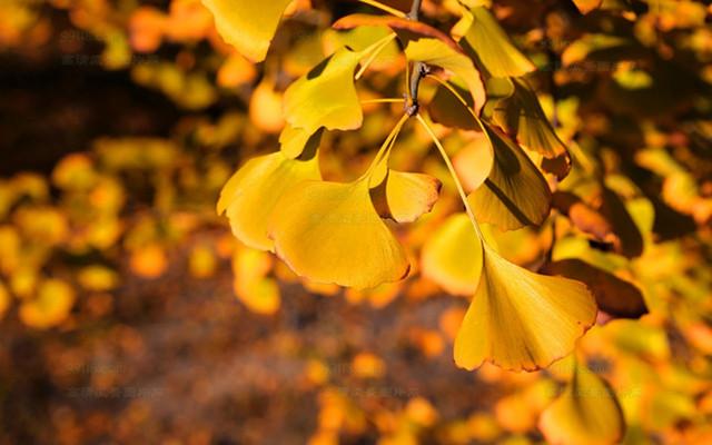 Ginkgo Biloba Seeds, Maidenhair Tree, 10pcs/pack