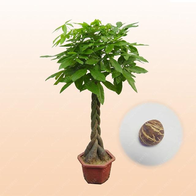 1 pz/borsa pachira macrocarpa, pachira bonsai pachira aquatica bonsai albero in