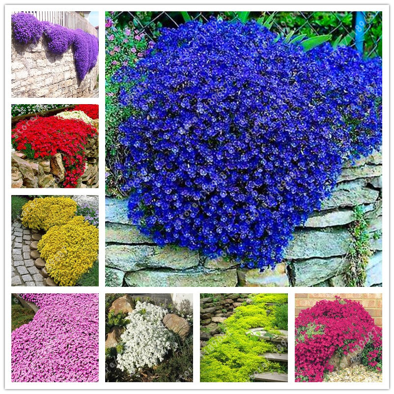 Flower Seeds Creeping Thyme Or Blue Rock Cress Perennial Ground Cover Garden Decoration