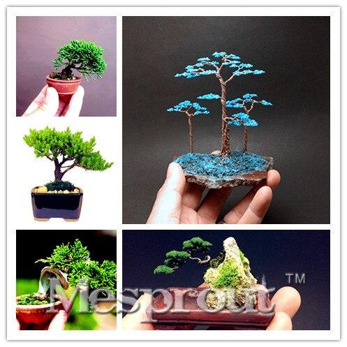 juniper bonsai baum kaufen billigjuniper bonsai baum. Black Bedroom Furniture Sets. Home Design Ideas