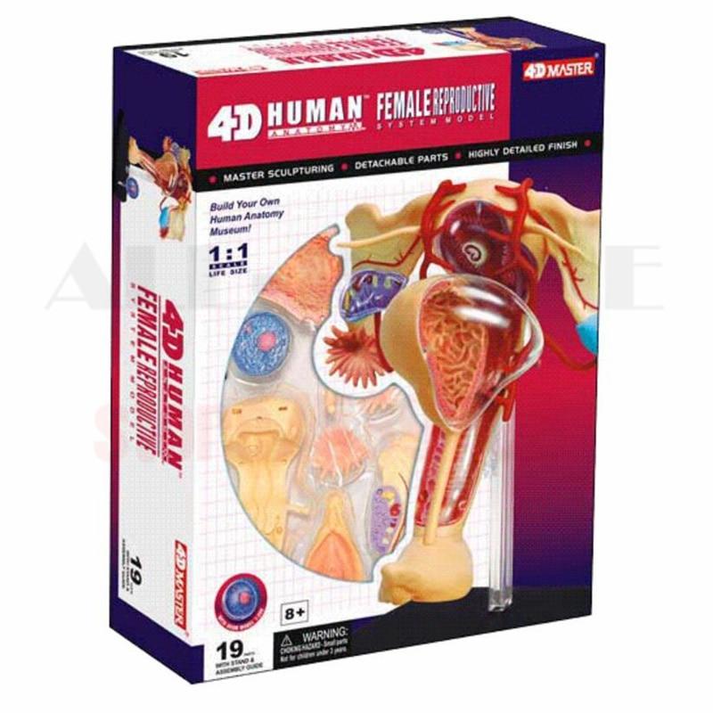 4D Master medical human skull skeleton anatomical model FEMALE ...