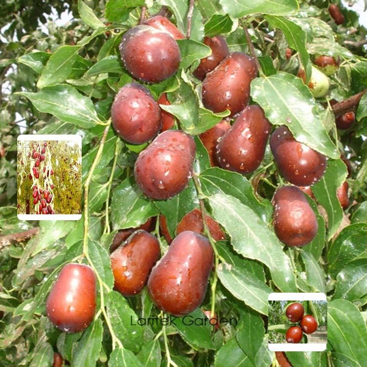 online buy wholesale jujube fruit tree from china jujube fruit, Beautiful flower