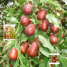 1 Professional Pack, 20 seeds /pack, Ziziphus mauritiana Fruit Tree Seeds Chinese Red Date Jujube #B00001(China)