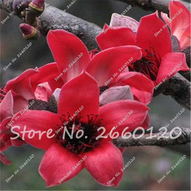 30 Pcs Rare Genie Genie Dark Red Yulan Magnolia Tree Flower Bonsai