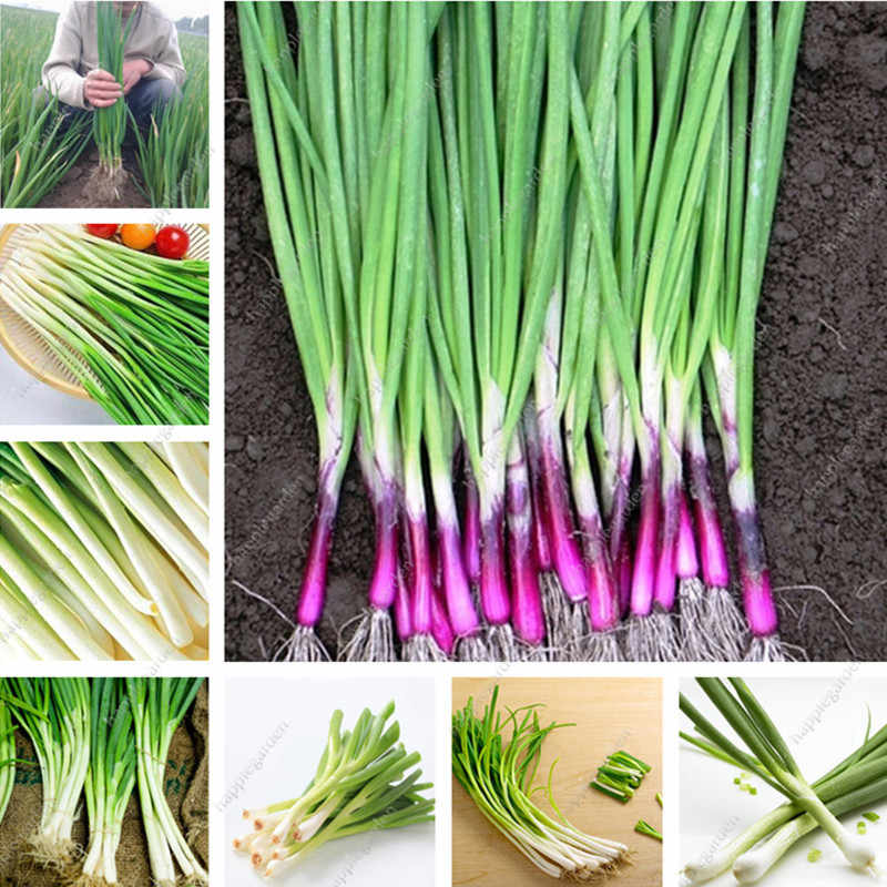 2000 pcs/bag Alone Root Shallot Four Seasons Evergreen Organic Delicious Scallion Bonsai Hydroponic Potted Plant for Flower Pot
