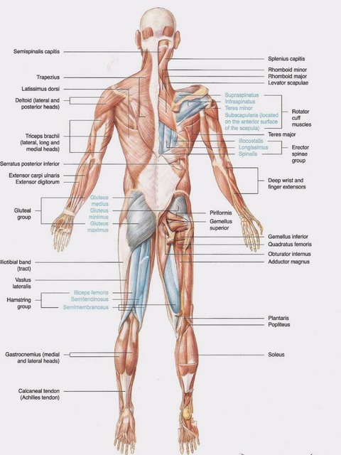 Human Body Anatomical Chart Muscular System Campus Knowledge Biology Clroom Wall Painting Fabric Poster 17x13