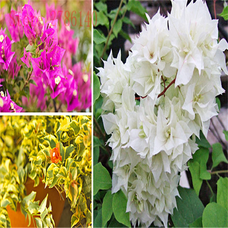 new! 100 bags/bags of Bougainvillea potted planting, home gardening, a variety of colors to choose from, high emergence rate.