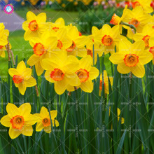 100pcs Narcissus Daffodil Seeds Beautiful Bonsai Flower Seeds 24Colors for Home Garden Balcony Absorption Radiation Plants