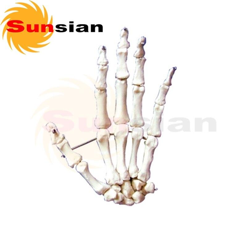 1:1 tamaño de la configuración normal de modelo de la mano de hueso ...