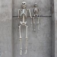 (DHL/TNT/UPS/FedEx/EMS) 165cm / 90cm Halloween Skeleton 100% Plastic Skeleton for Halloween Decorations