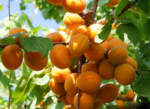 Original Packaging 5pcs Direct apricot apricot tree base more Cheap precocious fruit orchard seed seed varieties free shipping