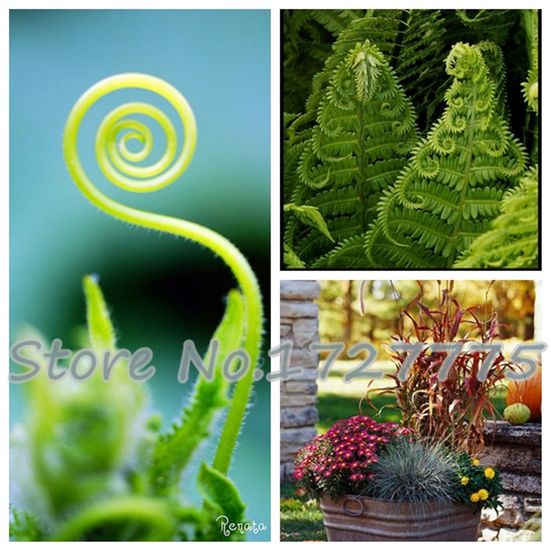 2015 Free shipping 200PCS Spring grass seeds Succulents plant Grass seeds DIY bonsai Potted Garden Home Exotic Plant Interesting