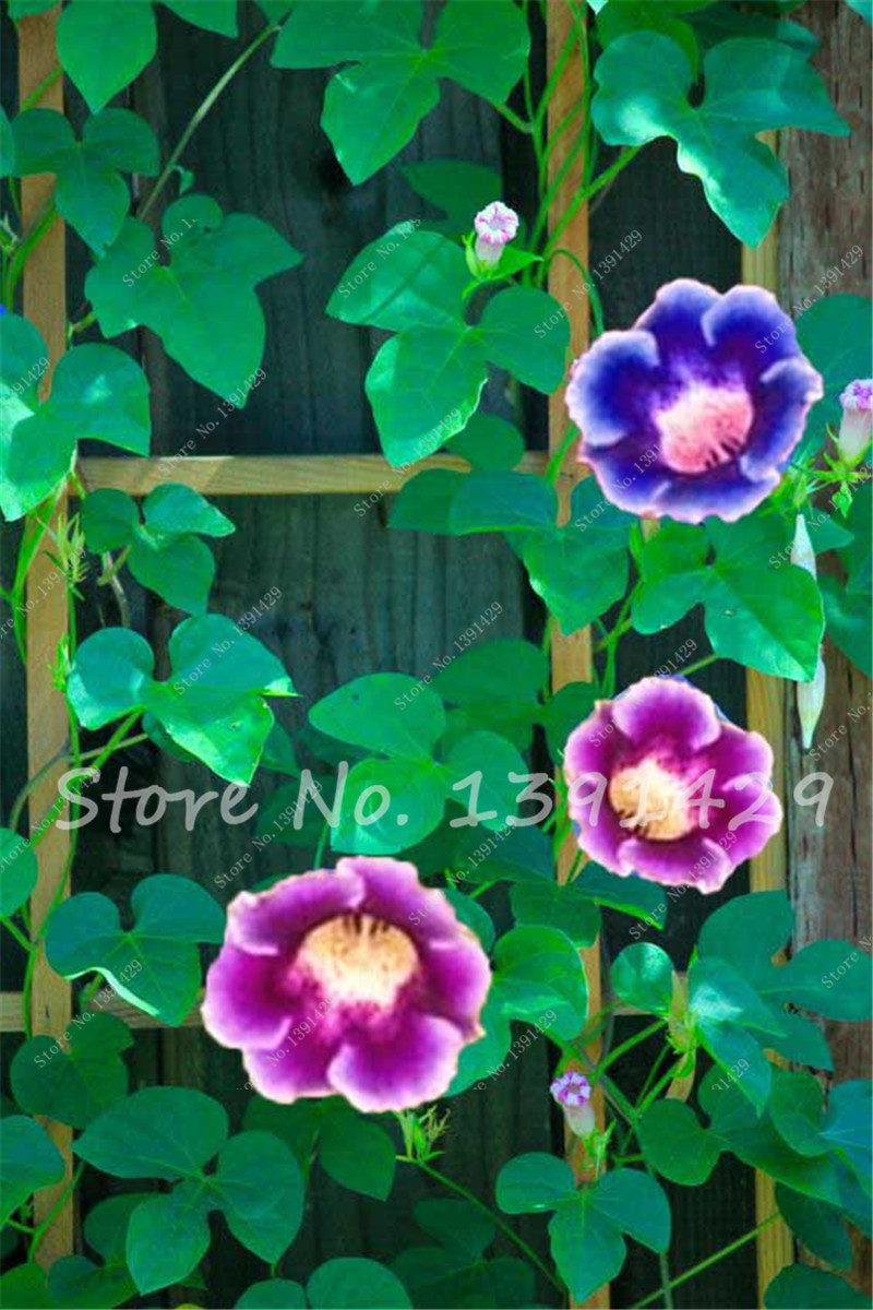 9 Colors Can Be Choose Gloxinia Seeds Perennial Flowering Plants 100