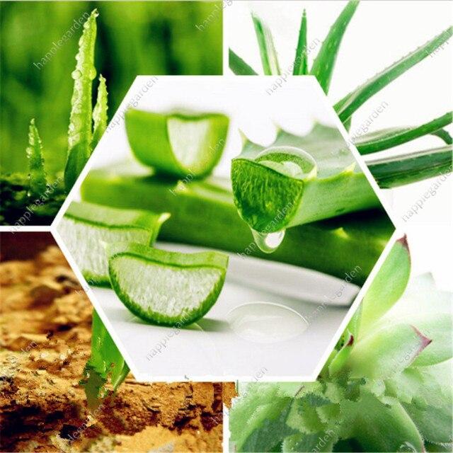 Vendita! 300 pz Verde Piante di Aloe vera Commestibile Bellezza Commestibile Cos