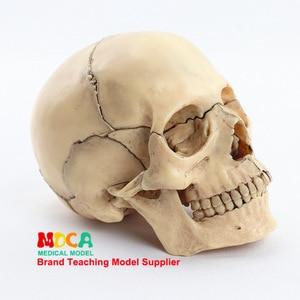 Image 3 - 1:2 Lifesize Human Skull Model True colors Medical teaching equipment 15 Parts Anatomical Anatomy Skeleton Model