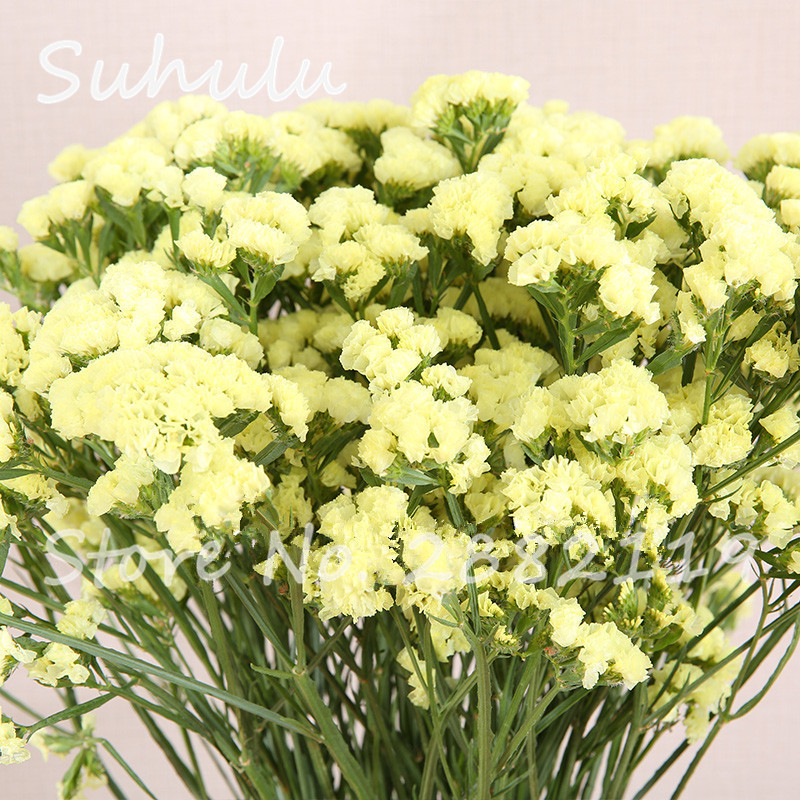 30 pcs statice seeds limonium sinuatumbeautiful statice flower 30 pcs statice seeds limonium sinuatumbeautiful statice flower perennial colorful excellent as cut or dried bouquets easy grow in bonsai from home mightylinksfo