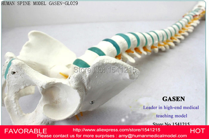 HUMAN SPINE BONE SKELETON TRAINING MODEL,HUMAN SPINE MODEL CERVICAL SPINE THORACIC AND LUMBAR PELVIC LEG MODEL-GASEN-GL029