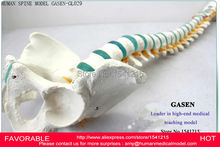 HUMAN SPINE BONE SKELETON TRAINING MODEL,HUMAN SPINE MODEL CERVICAL SPINE THORACIC AND LUMBAR PELVIC LEG MODEL-GASEN-GL029
