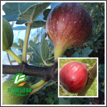 Brooke then red figs , figs seed small seed orchard direct investment quick 5 seeds / pack(China)