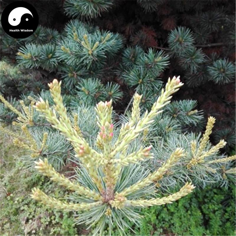 Buy Pinus Parviflora Tree Semente 60pcs Plant Pine Tree For China Wu Zhen Song