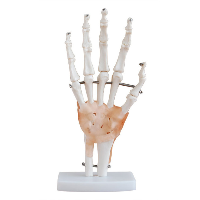Hand handgelenk modell skeleton modell, bänder optional, biegsam ...