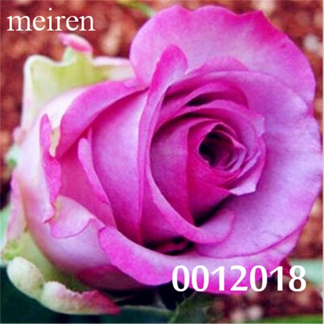 200 szt rzadkie Holland Rainbow Rose kwiat Bonsai domu ogród rzadki kwiat roślina 24 kolor tęcza Róża Flores, Róża Kwiat sadzonki